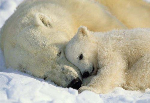 anel Wall Mural Polar Bears, 72-inch by 50-inch ()