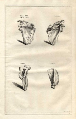 Antique Medical Print-SHOULDER-SCAPULA-Vesalius-1725