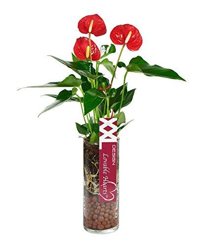 KaBloom Live Plant Collection: 15'' Red Anthurium Plant in a Cylinder Glass Vase