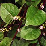 Outsidepride Malabar Spinach - 100 Seeds