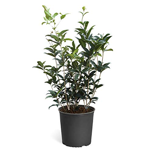 Fragrant Tea Olive Plants - Osmanthus Fragrans - The Most Fragrant Blooms! - 3 Gallon | No Shipping to AZ ()