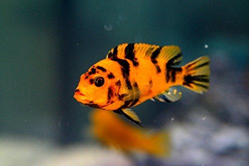 Cichlid Fish - Pair of OB Red Blotch Zebra African Cichlid - Live Tropical Aquarium Fish