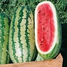 FRESH PREMIUM GEORGIA RATTLESNAKE WATERMELON 100 + SEEDS VERY SWEET - Georgia Premium Outlets In