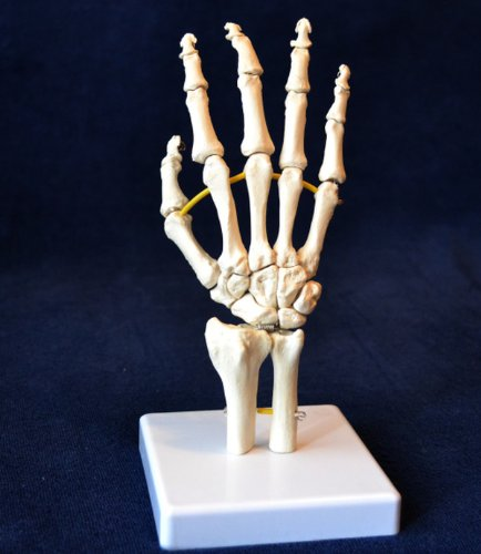 Wellden Product Medical Anatomical Hand Model, Life Size -