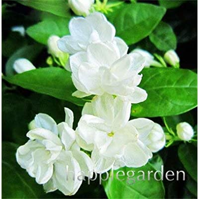 Kasuki Hot Sale 30 Pcs Gardenia Bonsai Cape Jasmine DIY Home Garden Potted Bonsai Gift Amazing Flores Beautiful Room Flower Plants Tree - (Color: 5): Garden & Outdoor