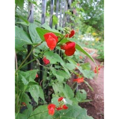 30 Seeds Emilee's Scarlet Runner Bean Create Your Cottage Garden #AATM : Garden & Outdoor