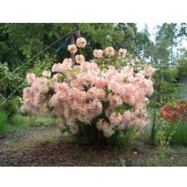 - Fresh Azalea 'Irene Koster' - Starter Plant