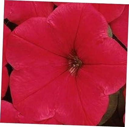25 Pelleted Seeds Easy Wave Red Pelleted Petunia Seeds wave petunia