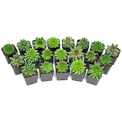 Succulent Plants | 5 Sempervivum Succulents | Rooted in Planter Pots with Soil | Real Live Indoor Plants | Gifts or Room Decor by Plants for Pets : Garden & Outdoor