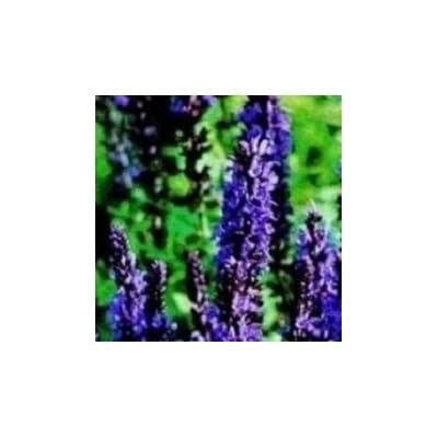 Salvia - Superba Violet Queen - 25 Seeds : Flowering Plants : Garden & Outdoor