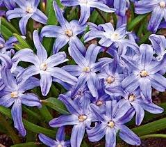 Chionodoxa luciliae bulbs glory of the snow blue star shaped quot chionodoxa luciliae quot bulbs glory of the snow blue mightylinksfo