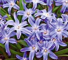 Chionodoxa Luciliae Bulbs Glory Of The Snow Blue Star Shaped