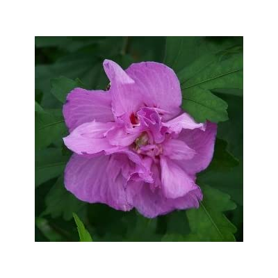 (2 Plants, Bare Root) ARDENS Rose of Sharon, Unusual, Beautiful Lavender Purple Blooms, Dark Green Foliage, Great Summer Bloomer : Garden & Outdoor
