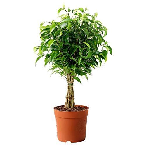 A2C Plant Live Golden Gate Ficus Indoor Bonsai Tree – 10 Years Old Plant with Pot