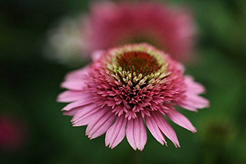 Butterfly Kisses Double Coneflower - Echinacea - Gallon Pot by Hirt's Gardens