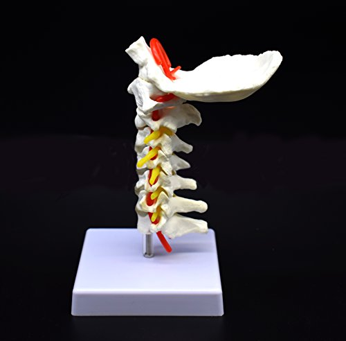 Cervical Vertebra Arteria Spine Spinal Nerves Anatomical Model Anatomy for Science Classroom Study Display Teaching Medical Model by shawn science (Image #1)