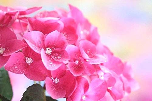 (3 Gallon) Ruby Slippers Oakleaf Hydrangea, White Blooms which Turn deep Pink, Blooms Remains Upright, gorgoeus Native Plant,Oak Like Large Leaves, which Turns Beautiful Mahogany in Fall,