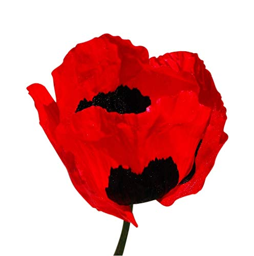 10,000 Red Turkish Poppy Seeds - Tall Annual Poppy That Resembles The Oriental Red Poppy with Large Black Detail