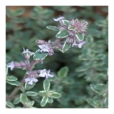 Clovers Garden Silver Edge Thyme Herb Plant- Two (2) Live Plants – Not Seeds – in 3.5 Inch Pots : Garden & Outdoor