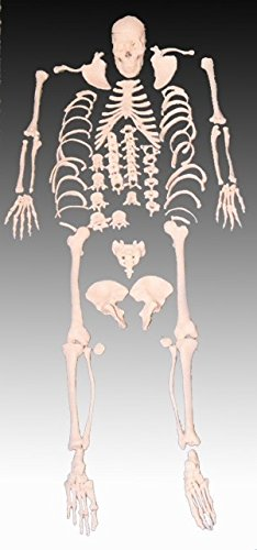 Human Skeleton Model, 1st Quality, Life Size, - Skeleton Human Disarticulated