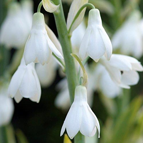 White Galtonia Candicans White Summer Hyacinth Bulb - 3 Big Bulbs - Fragrant! Ships from USA - Grow Hyacinth Bulb