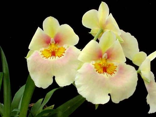 miltoniopsis-andrea-west-yellow-orchid-near-blooming-size