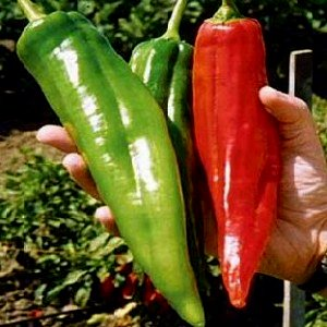 NuMex Big Jim Chili Pepper Seeds ► Organic NuMex Pepper Seeds (10+ seeds) Award Winning 12+ inches long! ◄ by PowerGrow - Hot Jim