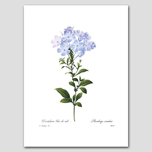 Blue Flower Art (Cottage Home Decor, Botanical Print by Redoute) Shabby Chic Artwork -- Unframed
