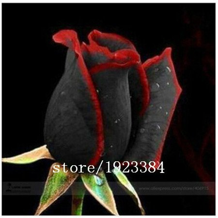 100 Abracadabra Rose seeds,rare color ,Osiria Rose gorgeous flower seeds. the lover rose seed .Free Shipping (Abracadabra Rose)