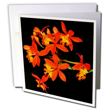 (3dRose Orange miniature orchids - Greeting Cards, 6 x 6 inches, set of 12 (gc_179652_2) )