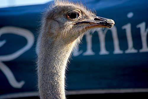 Home Comforts Canvas Print Rural Fair Bird County Fair Beak Animal Ostrich Vivid Imagery Stretched Canvas 10 x ()