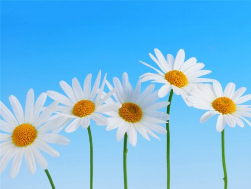 12 X 16 INCH / 30 X 40 - Daisies Poster
