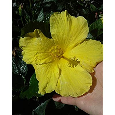 1 Healthy Rooted Beautiful Yellow Tropical Hibiscus Live Plant - NSR242 : Garden & Outdoor