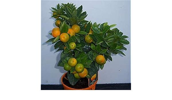 Shop Meeko Calamondinplant Cruz Nursery Orange: Amazon.es: Jardín