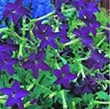 Nicotiana - Perfume Deep Purple - 50 Seeds