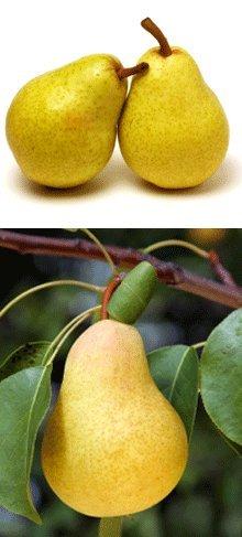 Danjou Pear Tree