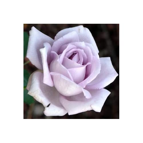 "Sub Sero Hybrid Tea Rose Plant - Moonlight Magic, Purple, Blue, Bush, Nice 12-18"" Tall Rose Plant"