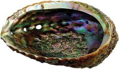 Large Rainbow Abalone Seashell