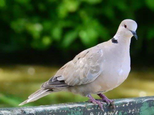 Laminated Poster Eurasian Collared Dove Poster Bird North American Vivid Imagery Poster Print 11 x 17