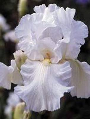 Iris, Bulb (one) White Cloud, White Perennial Iris Bulbs, Flowers
