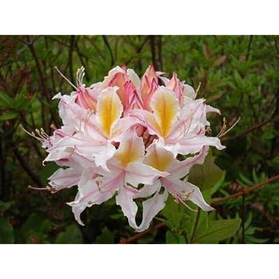 20 Western Azalea Pink White Yellow Shrub Flower Rhododendron Occidentale Seeds : Garden & Outdoor