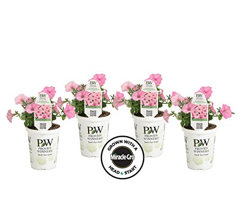 4-pack Proven Winners Supertunia Vista Bubblegum Grown with Miracle-Gro Head Start Fertilizer (Petunia) Live Plant, Pink Flowers, 4.25 in. Grande