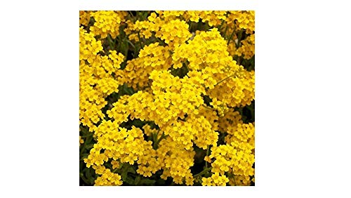 David's Garden Seeds Flower Alyssum Basket of Gold SL1174 (Multi) 500 Non-GMO, Heirloom Seeds (Sweet Alyssum Seeds)