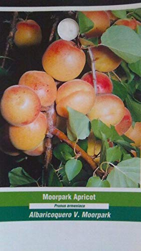 Juicy Apricot - 4'-5' Live Moorpark Apricot Tree Healthy Fruit Trees Plant Sweet Juicy Apricots