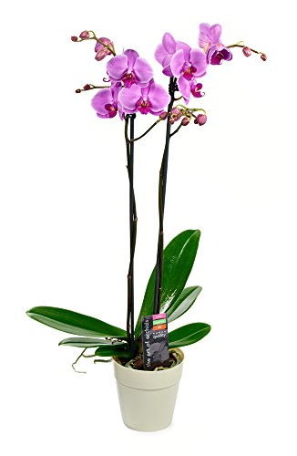 KaBloom Live Orchid Plant Collection: Purple Phalaenopsis Orchid Plant (18-24 Inches Tall) (2 Stems) in a Plastic Euro Pot by KaBloom