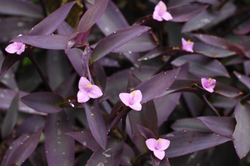 Amazon purple heart plant setcreasea indoors or out easy amazon purple heart plant setcreasea indoors or out easy 4 pot flowering plants garden outdoor mightylinksfo