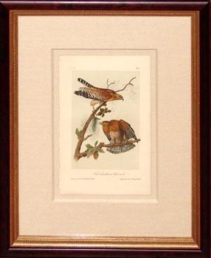 Audubon Octavo Prints - Plate 9 - Red Shouldered Buzzard (Red-shouldered hawk)