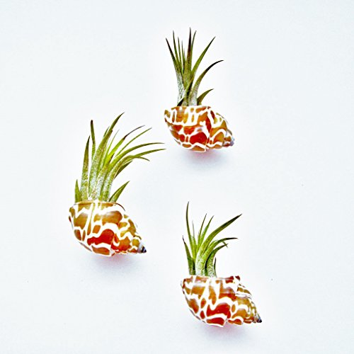 3 Pack Handmade Seashell Magnets with Ionantha Air Plants - 30 Day Guarantee - Wholesale - Bulk - Fast Shipping - House Plants - Succulents - Free Air Plant Care Ebook By Jody James