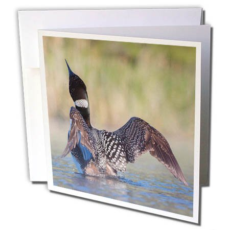 3dRose Danita Delimont - Birds - Canada, B.C., Adult Common Loon in breeding plumage flaps its wings. - 1 Greeting Card with envelope (Flaps Its Wings)