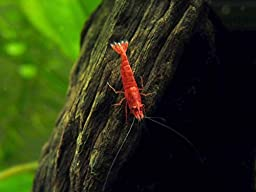 12 Live Sakura Fire Red Cherry Shrimp (Neocaridina davidi) - Breeding Age Young Adults at 1/2 to 1 Inch Long + Java Moss and Aquatic Arts Brand Food Sample